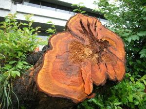寿命で倒れた桜の樹